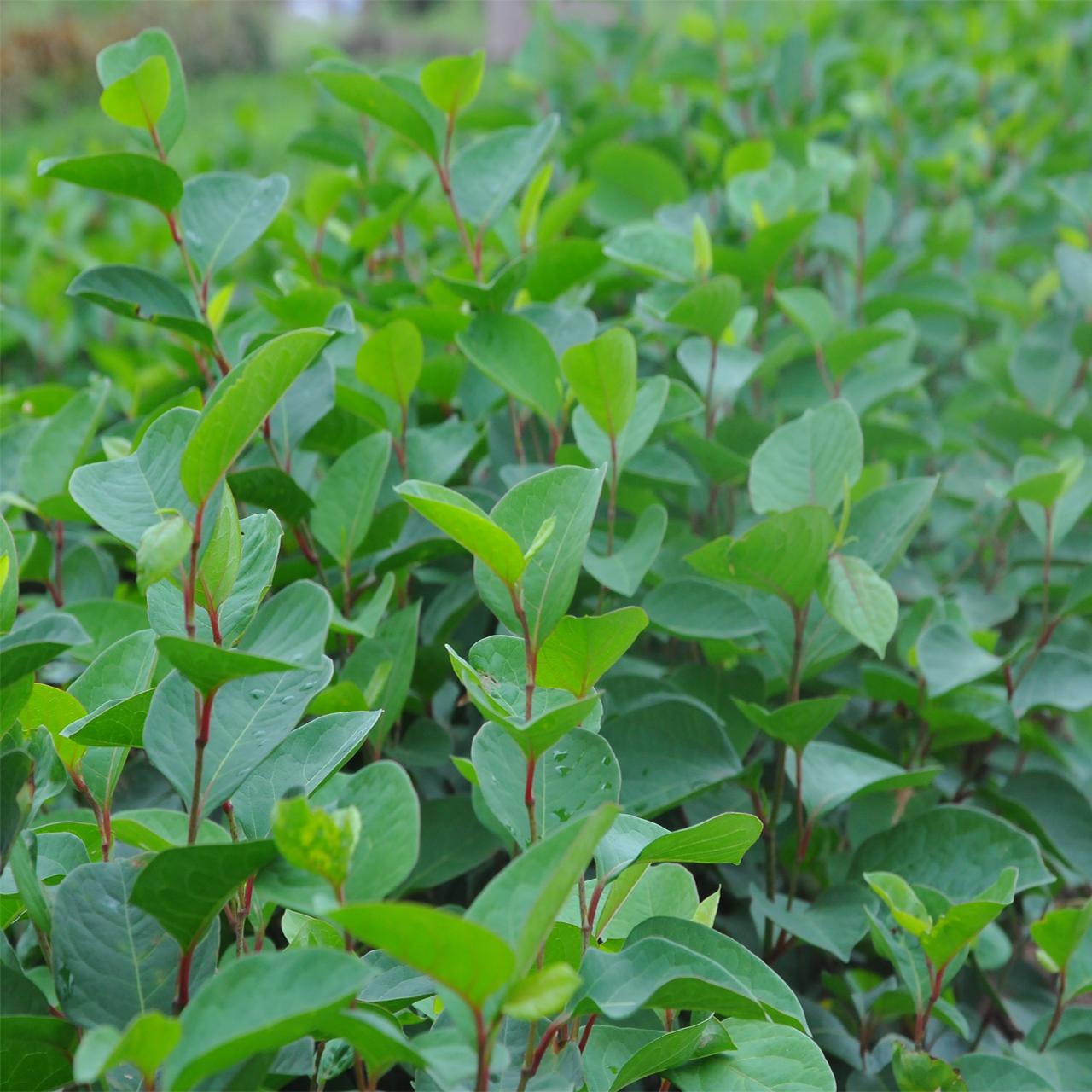 Ruộng trồng cốt khí củ