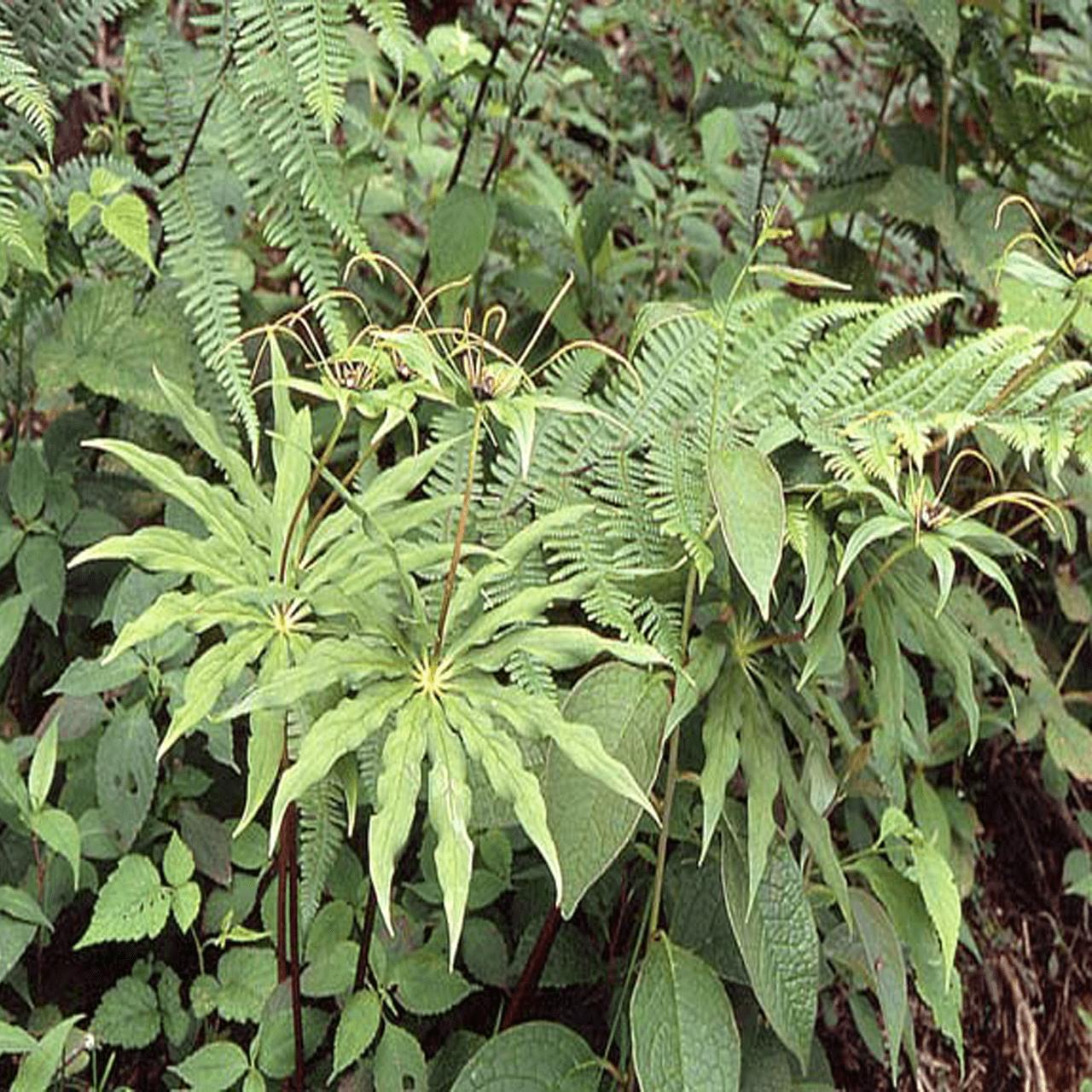 Sinh thái cây Bảy lá một hoa
